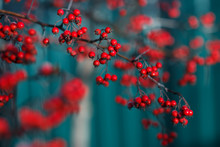 Close Up Photo Of Hawthorn Tree With Red Berries.