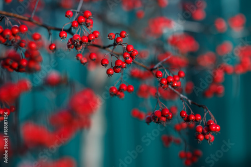 Photo Close up photo of hawthorn tree with red berries.