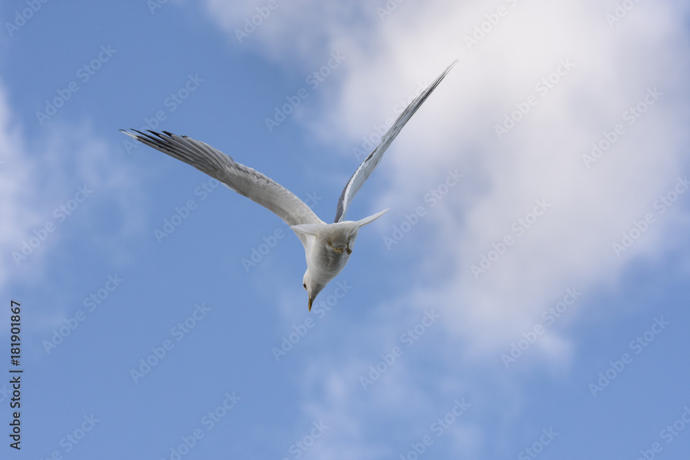 seagull to attack to defend the eggs in Norway