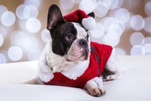 French Bulldog Posing In Santa...