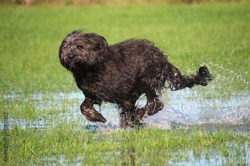 Fotografie, Obraz  schwarzer Schafpudel rennt im Park durchs Wasser