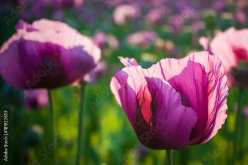 Plakat Różowe maki na polu