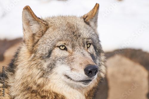 シンリンオオカミの顔