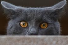 Eyes Of Carthusian Cat
