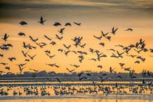 Migratory Birds In Northern Ca...
