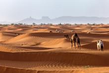 Camels In The Desert, Saudi Ar...