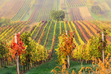 Colorful Rows Of Vineyards In ...