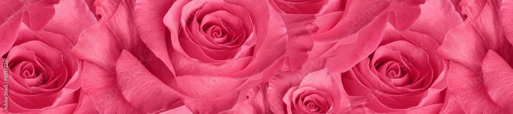 panorama  beautiful  pink rose