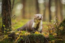 Marten, Marten Foida Into Forest