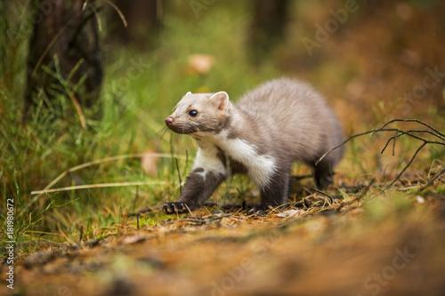 Fotografija Marten, Marten foida into forest