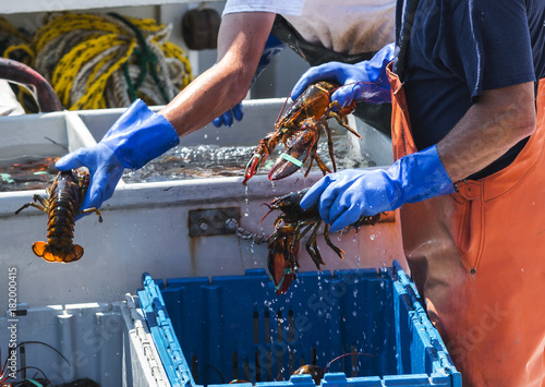 Fotografie, Obraz  Fresh caught Maine Lobstes