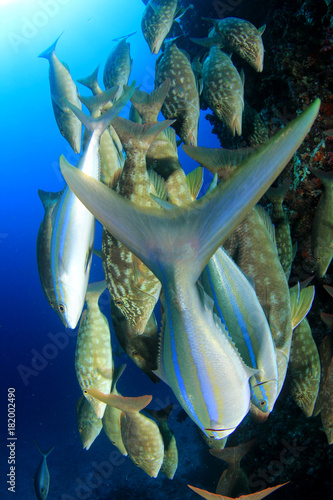 Fototapety, obrazy: Fish school hunting on coral reef