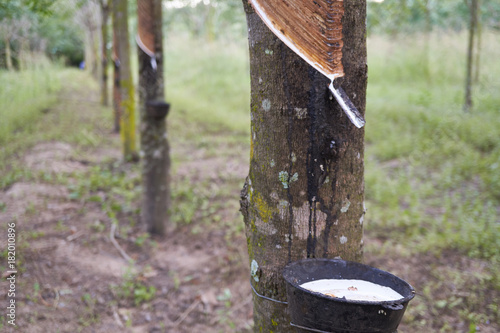 Fotografía  Latex being collected from a wounded rubber tree