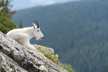 Mountain Goat 1