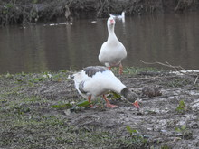 Three Gooses On The Edge Of A ...