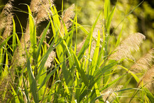 Green Leaves Of Bulrush On Nat...