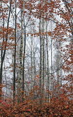 Panel Szklany Brzoza beautiful scene in autumn birch forest in october november