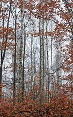 Fototapeta Brzoza beautiful scene in autumn birch forest in october november