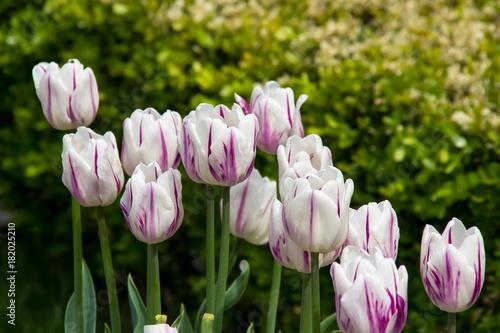 Plakat Biel z różowymi tulipanami w parku w wiośnie