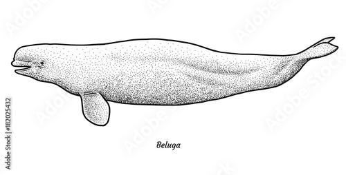 Fotografie, Tablou  Beluga illustration, drawing, engraving, ink, line art, vector