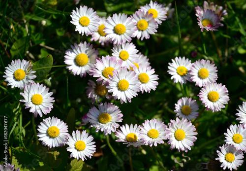 Daisies Gänseblümchen
