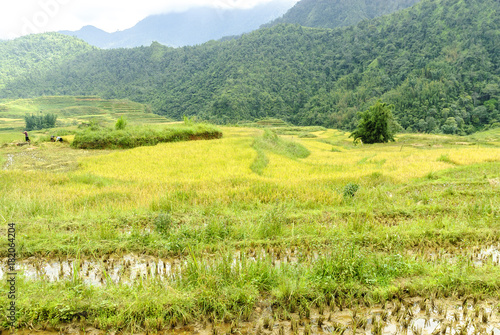 In de dag Geel sight of the fields of rice cultivated in terraces in the Sapa valey in Vietnam.