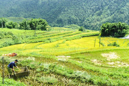 Tuinposter Lime groen peasants being employed at the harvest of the rice in the Sapa valey in Vietnam.