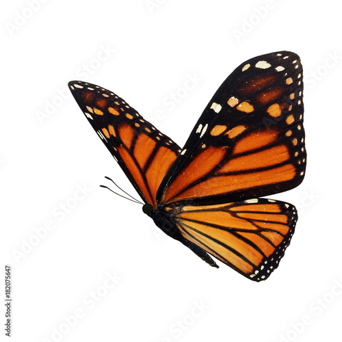 Fotografie, Obraz  Beautiful monarch butterfly