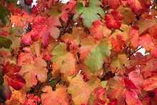 Red And Yellow Vine Leaves