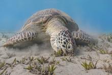 Green Sea Turtle Feeding Sea G...