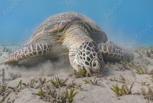 Green sea turtle feeding sea grass close up