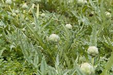 Cardoon Plants In A Field.