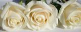 Rose. Three white roses. Elegant white flower.