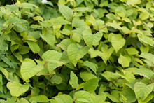 Asian Knotweed (Fallopia Japon...
