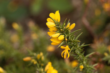 Flowers Of Common Gorse (Ulex Europaeus)