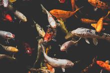 Koi Fish, Japanese Koi Carp Fishes