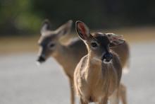 Key Deer Doe