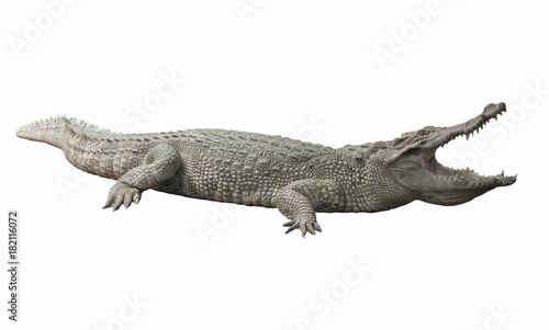 Albino Crocodile / Skin is white , nearly extinct , found in Southeast Asia