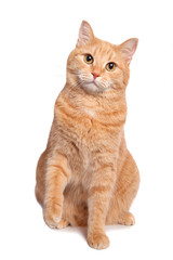 Cute red yellow pale cat sitting isolated on white background.