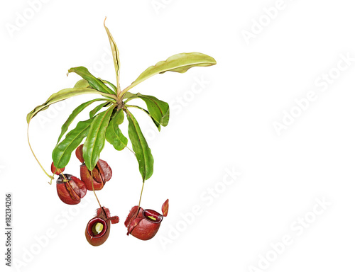 Nepenthes Rajah or Carnivorous Plant on White Background, Clipping Path Wallpaper Mural