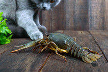 The Large Crayfish Retreats On The Wooden Table, The Gray Cat Carefully Looks At It, Wants To Eat Prey.