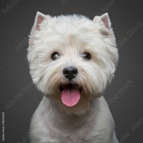 Fototapeta beautiful west highland white terrier dog obraz