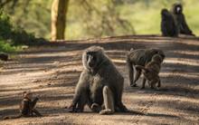 Monkey Baboons Near Lake Nakur...