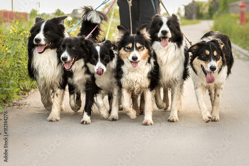 Photo  dogwalking with a pack of dogs - woman walks with many border collies