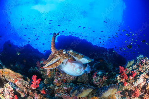 Staande foto Koraalriffen A pair of Pharaoh Cuttlefish on a healthy tropical coral reef at dawn