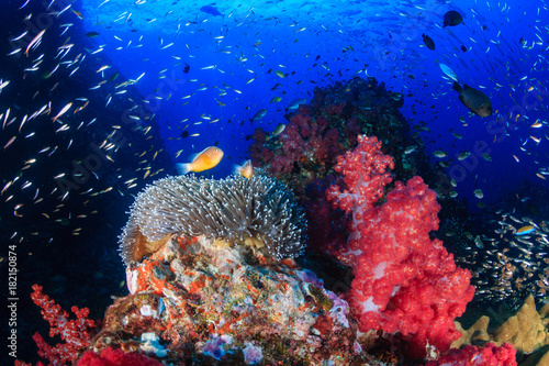Foto op Aluminium Onder water Skunk Clownfish on a colorful tropical coral reef