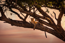 Leopard Rests In A Tree At Sun...