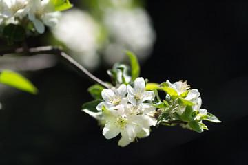Obraz na płótnie Canvas branch of apple tree