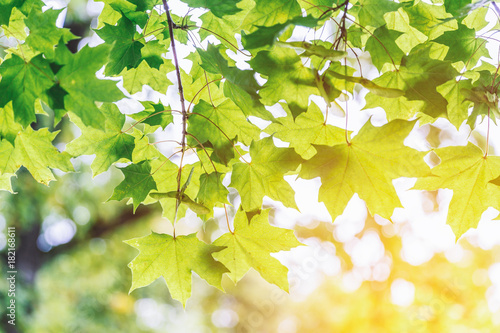 Foto Hanging fresh green maple leaves during spring season with warm sunlight  from behind