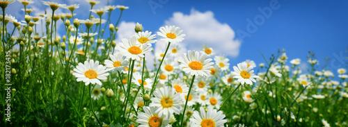 Fotobehang Madeliefjes daisy field closeup